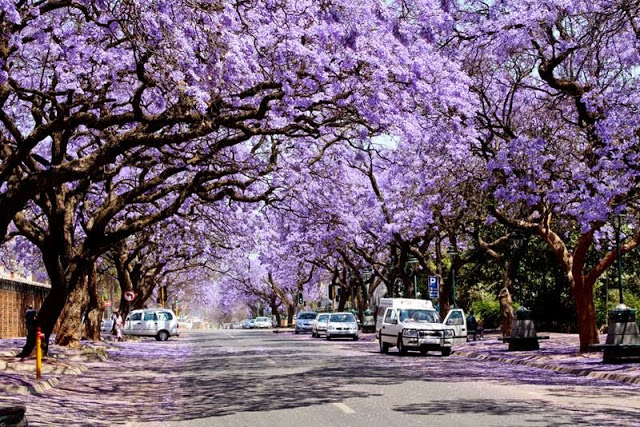 Photo from South Africa but you get the idea http://nevereverseenbefore.blogspot.com/2015/05/jacarandatree-pretoria-in-south-africa.html